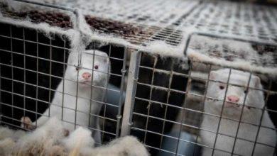 صورة منظمة الصحة: 6 دول رصدت فيروس «كورونا» في مزارع لتربية حيوان المنك