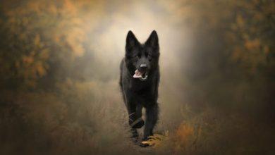 صورة 10 دلالات لتفسير حلم الكلب الأسود في المنام لابن سيرين