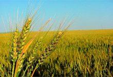 صورة الزراعة تشكل لجان للمرور على حقول القمح لاكتشاف « الصدأ الأصفر» وعلاجه