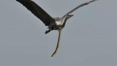 صورة   هل فعلًا كان ثعبان البحر يتدلى من معدة طائر مالك الحزين في الجو؟