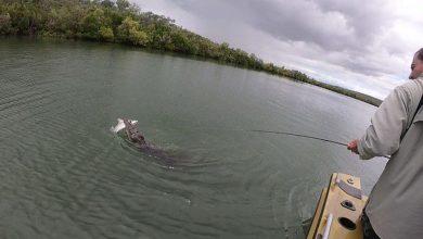 صورة تمساح ينقض على سمكة قرش وينتزعها من صيادين