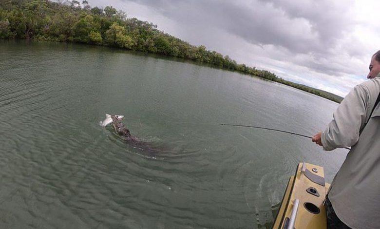 تمساح ينقض على سمكة قرش وينتزعها من صيادين
