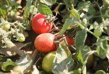 صورة الزراعة تصدر التوصيات الواجبة لتخفيف تأثير الموجة الحارة على محاصيل الخضر والفاكهة