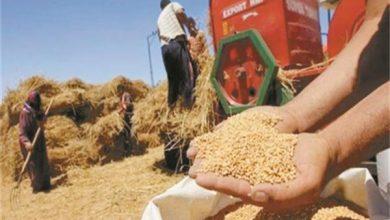 صورة بدء توريد «الذهب الأصفر».. 450 لجنة لاستلام القمح و16 مليار جنيه للمزارعين