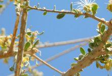 """صورة هيئة البيئة تنجح بزراعة أشجار """"السرح"""" ضمن بيئاتها الطبيعية في أبوظبي"""