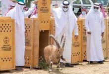 اطلاق 20 وعل جبلي بالمنتزه الوطني ببلجرشي al baha الباحة