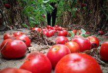 الاحتلال يواصل محاربة الزراعة في غزة: فرض شروط تعجيزية على تصدير البندورة