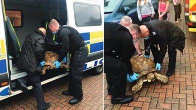 الشرطة في بريطانيا تقبض على سلحفاة