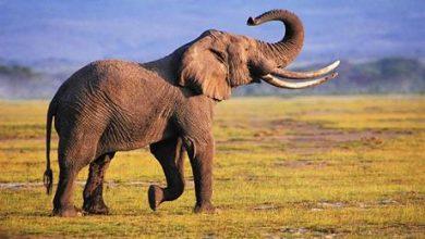 دراسة: الكشف عن قدرات خارقة يتمتع بها خرطوم الفيل