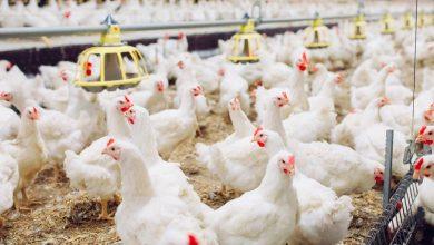 «الزراعة»: رفع انتاج البيض في مزارع الدواجن وعودته لكمياته الطبيعية