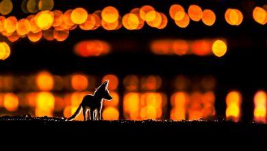 «ثعلب العرب» يمنح محمد مراد المركز الثاني في مسابقة «ناتيورتل» البريطانية