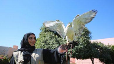 حديقة الحيوانات بالعين تستقبل فرخا من طائر هاريس هوك