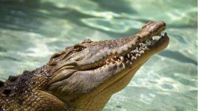 تمساح يقتحم حوض سباحة منزلي في امريكا