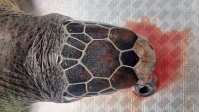 «البيئة»: السلحفاة النافقة في الخيران من السلاحف الخضراء وعمرها 3-4 سنوات