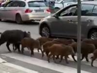 «الخنازير» تغزو شوارع عاصمة أوربية بحثا عن الطعام (فيديو)