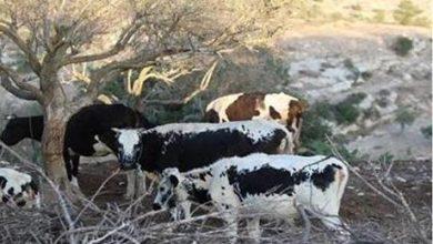 بحث تحديات قطاع مربي الأبقار بالأردن