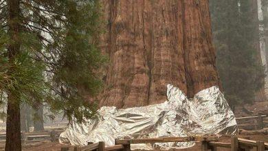 محاولات لإنقاذ أكبر شجرة في العالم من حرائق غرب أميركا